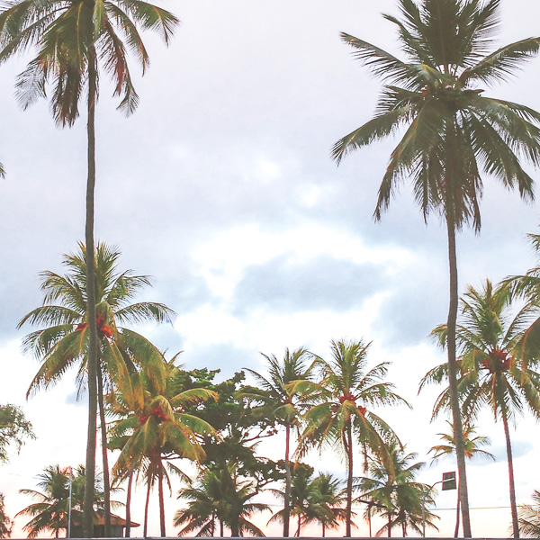 Recife palm trees